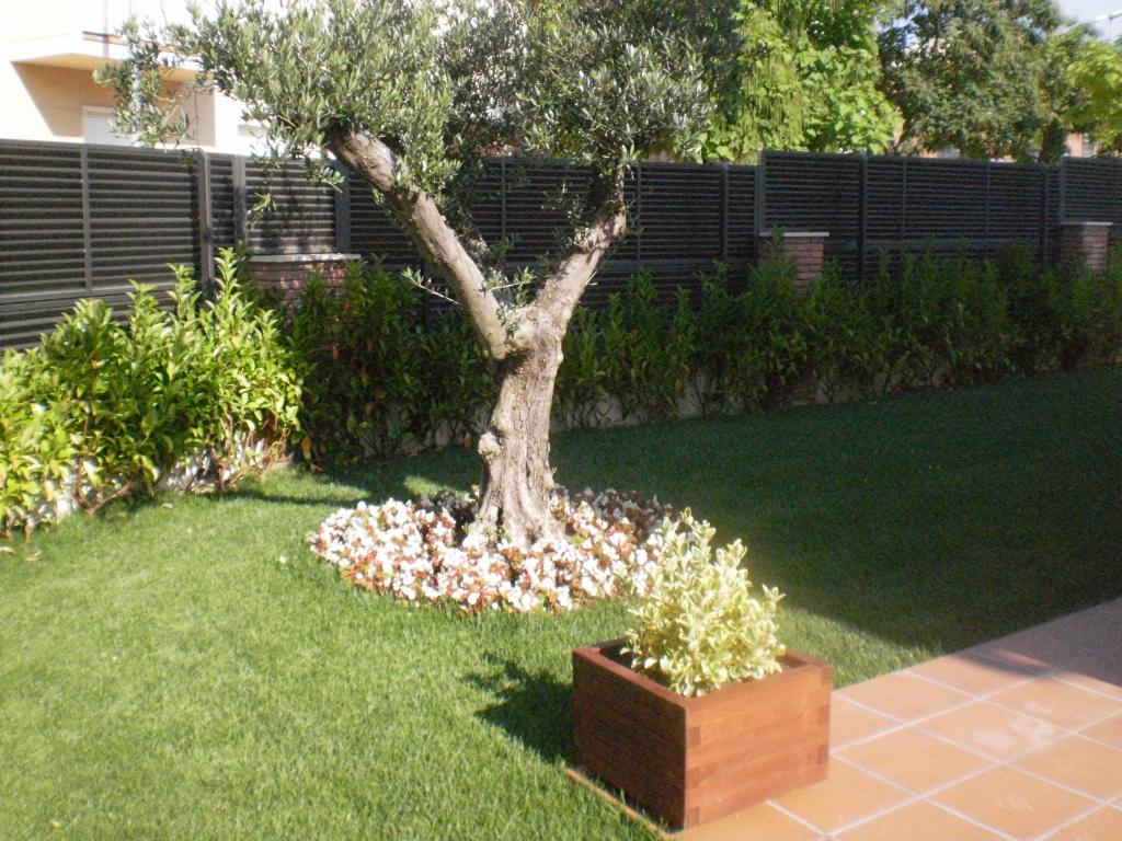 olivo en el jardín